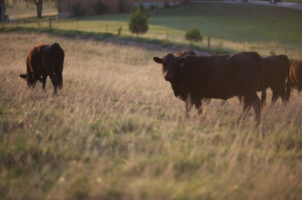 Pasture-and-cows-3-1024×682