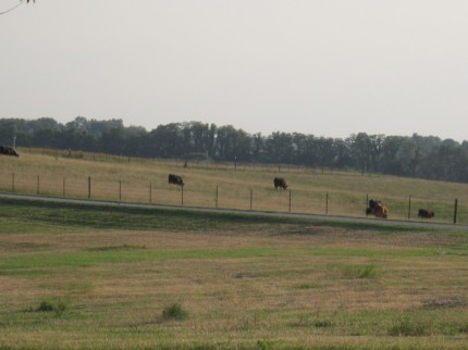 Pasture-with-lots-of-cows-1024×768